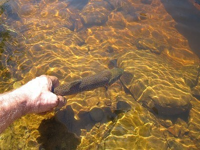 14607606-a-man-s-hand-releasing-a-brown-trout-back-into-a-ri
