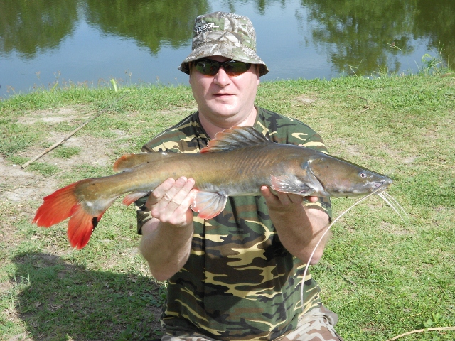 Asian Red Tail Catfish (640x480)