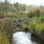 A beaver dam has unknown impacts on the movements of fish in the UK  Photo credit: Robert Needham.