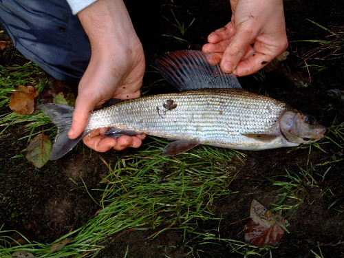 First Grayling