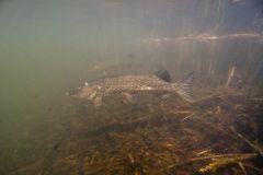 Underwater Pike